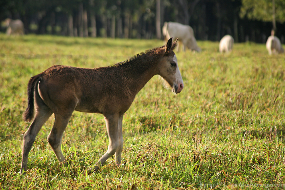 Central America, Latin America, Costa Rica. Pony wandering pastures near Puerto Jiminez on the Corcovado Peninsula.