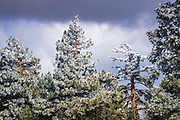 Rime ice on pines, San Bernardino National Forest, California USA