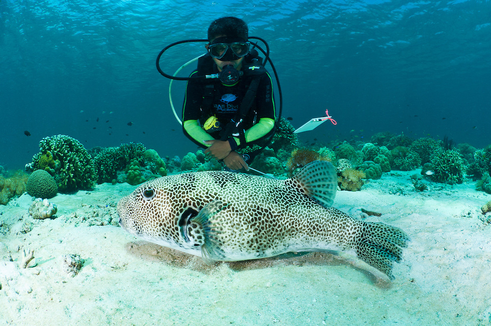 Diver with a star pufferfish, Menjangan, Bali, Indonesia. Menjangan is protected from the strong currents that sweep between Java and Bali and as a result has clear, warm waters and good reefs - the walls and shallow coral gardens of the island are some of the best in Bali.