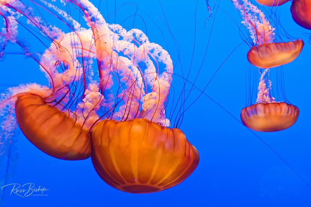 Sea nettles (Chrysaora fuscescens) at the Monterey Bay Aquarium, Monterey, California USA