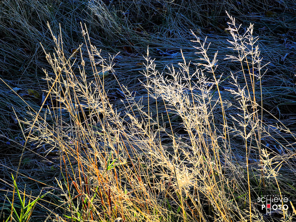 Frost covered grasses.
