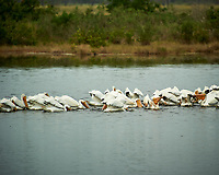 Large Group of American White Pelicans in a feeding frenzy. Biolab Road, Merritt Island National Wildlife Refuge. Image taken with a Nikon D3s camera and  70-200 mm f/2.8G VRII lens and TC-E 2.0 III teleconverter (ISO 200, 400 mm, f/5.6, 1/500 sec).