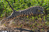 A hunting male jaguar (Panthera onca) in the Pantanal, Mato Grosso, Brazil