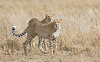 Cheetah brothers hunting