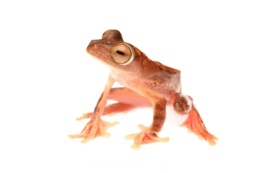 Harlequin Gliding Frog (Rhacophorus pardalis)