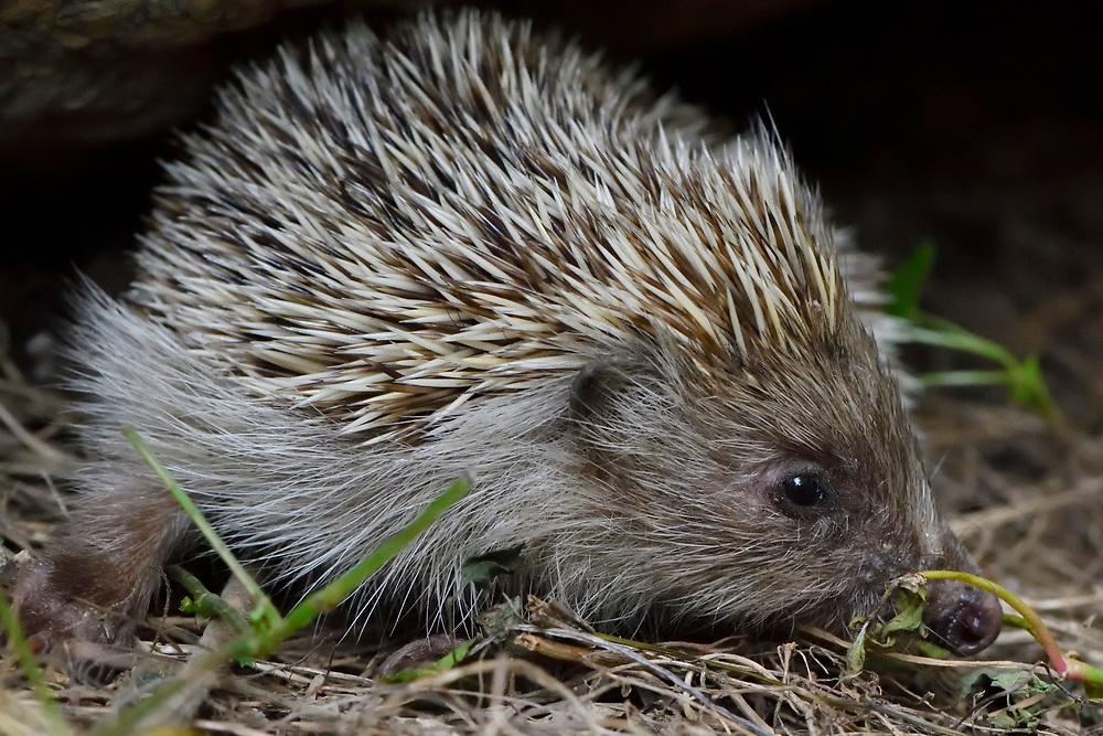 Amur Hedgehog, Erinaceus amurensis, sitting on ground in East Lake Greenway park, Wuhan, Hubei, China