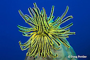 noble feather star or crinoid, Comanthina nobilis, Surin Islands, Thailand, ( Andaman Sea, Indian Ocean )