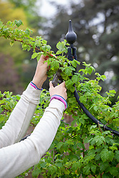 Pruning the tips of raspberry canes
