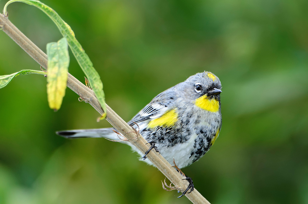 Yellow Rumped Warbler pirching