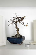 dead Bonsai tree