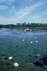 Fragrant Water Lily, Nymphaea odorata. Kayaking where Umbagog Lake empties into the Androscoggin River --Northern Forest  Errol, NH