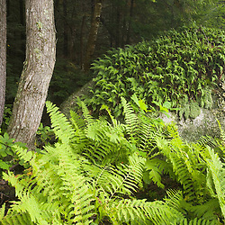 Ferns in the understory of the forest in Stoddard New Hampshire USA