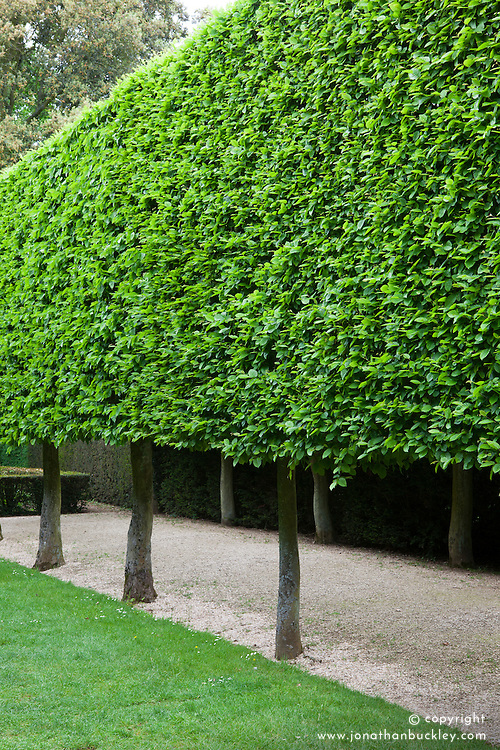 Pleached Hornbeam trees in The Stilt Garden at Hidcote Manor