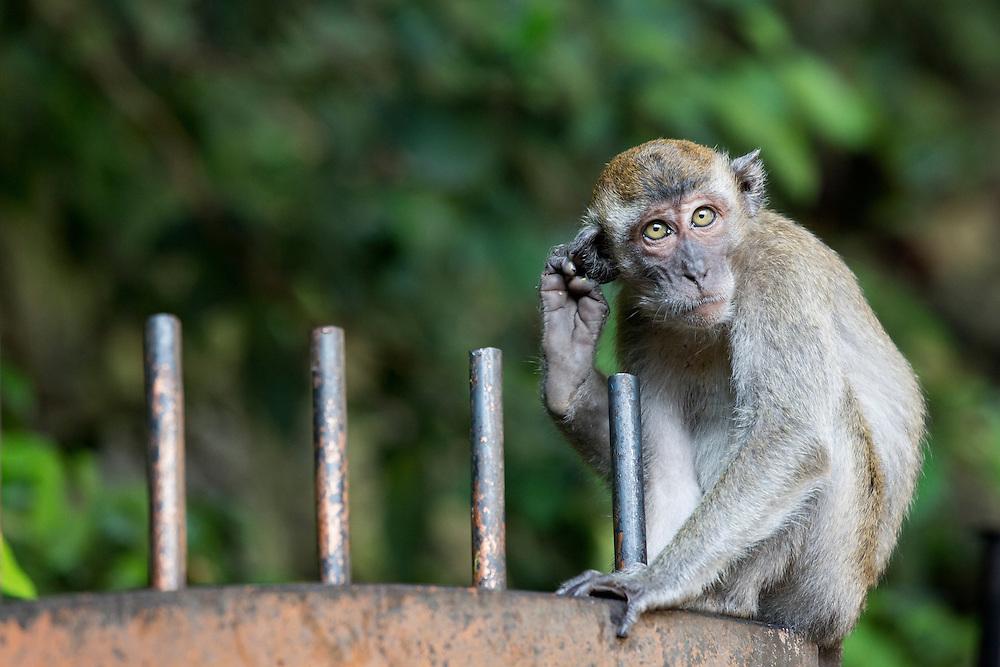 Asia, Malaysia, Kuala Lumpur, Long-Tailed Macaque (Macaca fascicularis) standing on gate outside Batu Caves entrance