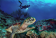 A diver shines his light on a turtle. Apo Island is a volcanic island covering 12 hectares in land area, 7 kilometers off the southeastern tip of Negros Island and 30 kilometers south of the Negros Oriental capital of Dumaguete City in the Philippines. Apo Island is one of the world's best known community-organized marine sanctuaries.