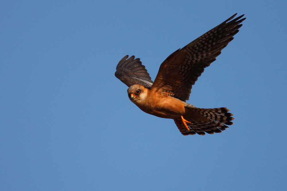 Female Red-footed Falcon in flight, Bagerova Steppe, Kerch Peninsula, Crimea, Ukraine