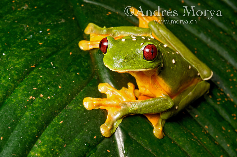 Spurell's Flying Frog (Agalychnis spurelli), Costa Rica. These frogs have significant webbing between their toes and have the ability to glide from the treetops by extending the limbs and using the webbing to act as four independent gliding membranes. These frogs can even steer and by changing the angle of their feet whilst in flight. Image by Andres Morya