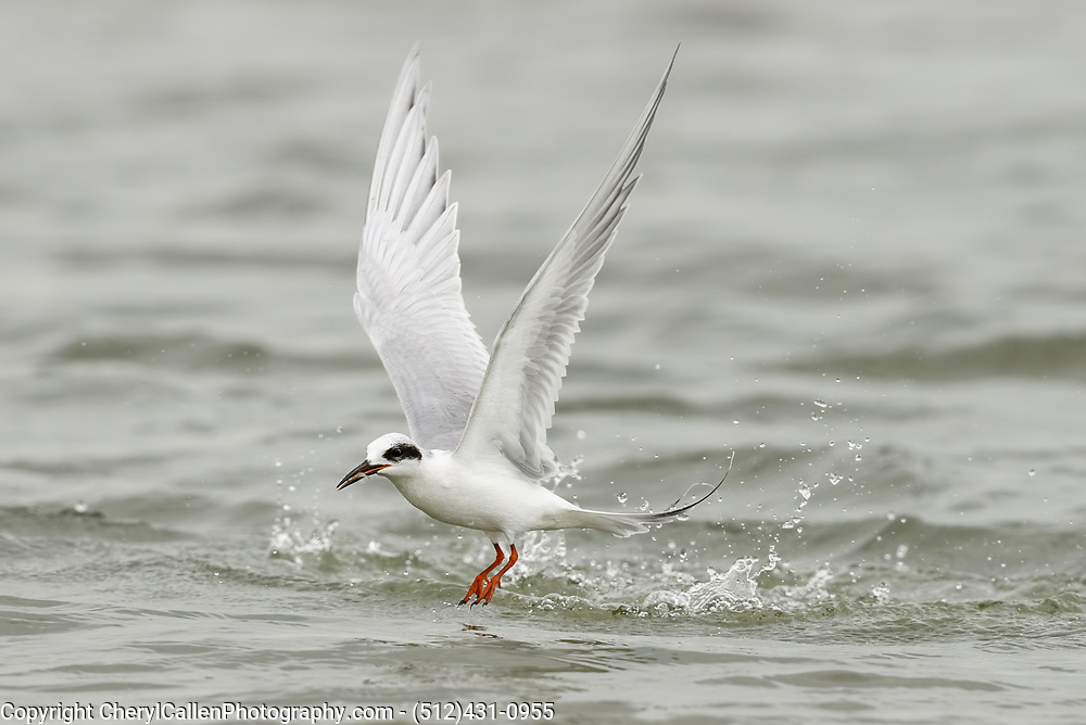Forster's Tern diving for krill