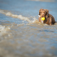 Images of Percy, the Miniature Dachshund, on Lancing beach, East Sussex.