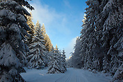 December snow in the forest, near the Baraque Michel area of the Haute Fagnes, or High Fens in the Belgian Ardennes.