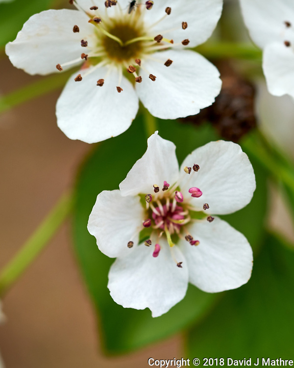 Pear (?) Tree Flowers. Image taken with a Fuji X-H1 camera and 60 mm f/2.4 macro lens (ISO 200, 60 mm, f/5.6, 1/40