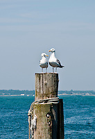 Long Island, New York, Shinnecock Harbor. 2 gulls on a post.