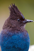 Close-up portrait of a Steller's jay on Mount Rainier on a chilly spring afternoon in Washington.