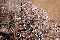 Niger, Agadez, Tidene, 2007. Commonly used as fences, these useful but deadly thorn bushes are omnipresent in the Sahel and Sahara environments.