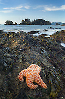 Ochre Starfish (Pisaster ochraceus), Point of the Arches, Olympic National Park Washington