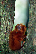 Ein gemütliches Plätzchen für eine Ruhepause ist für ein Löwenäffchen überall zu finden. | Comfortable spots for a rest are easy to find for a Golden Lion Tamarin.
