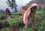 Tea Plantation, Tamil Nadu