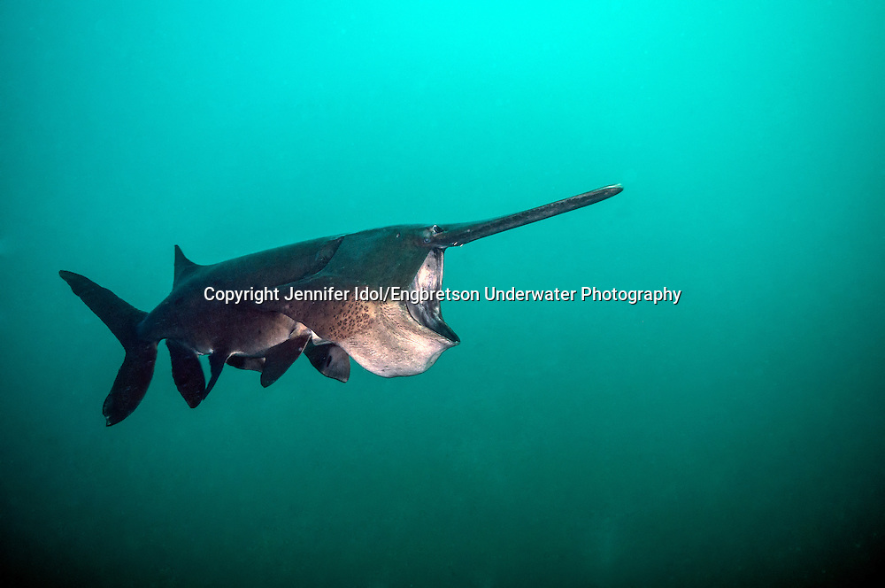 Paddlefish (feeding)<br />