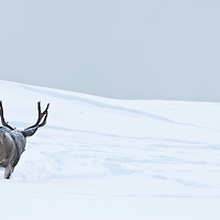 lonely single muledeer buck freezing cold winter snow, montana
