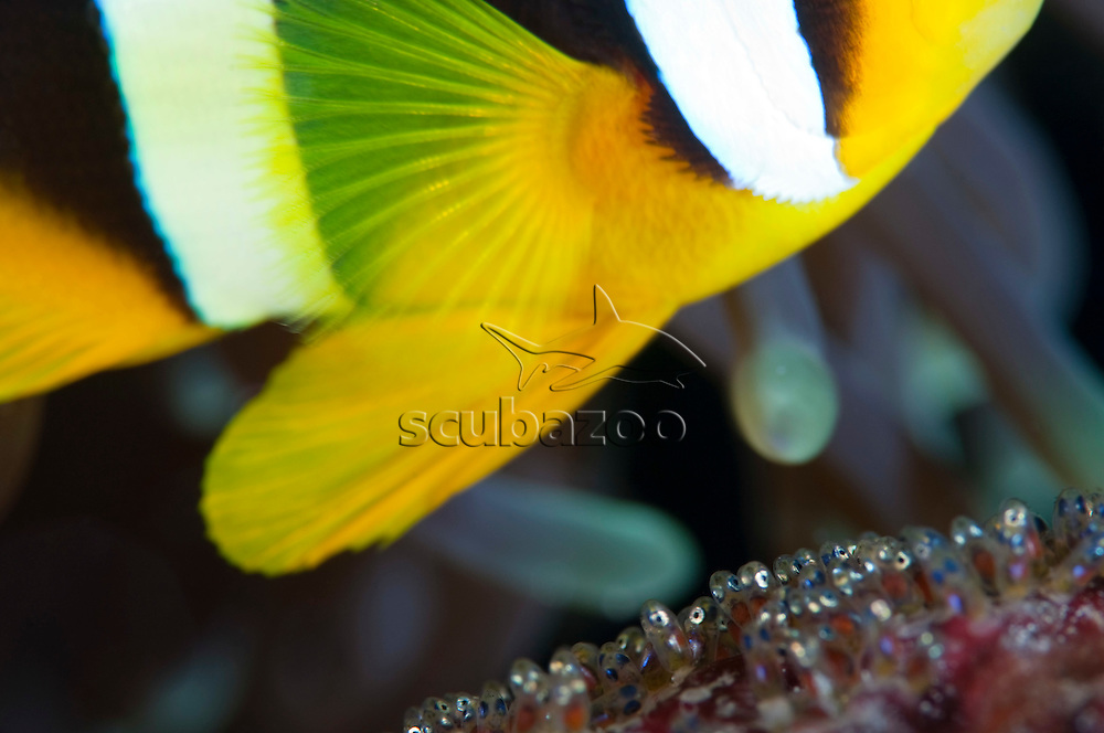 Clark's Anemonefish, Amphiprion clarkii, Protecting eggs in anemone, Gaafu Alifu Atoll, Maldives