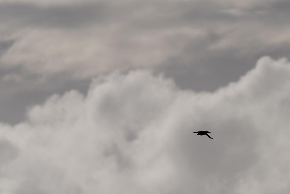 Guillemot in flight, Lunga, Scotland