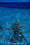 gray reef sharks, Carcharhinus amblyrhynchos, in feeding frenzy, Bikini Atoll, Marshall Islands, Micronesia ( Central Pacific Ocean )