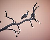 Indian Peafowl. Bharatpur-- Keoladeo Ghana National Park, Rajasthan, India. Image taken with a Nikon 1 V3 camera and 70-300 mm VR lens.