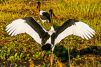 Saddle-billed storks in a shallow stream, near Kwara Camp, Okavango Delta, Botswana.