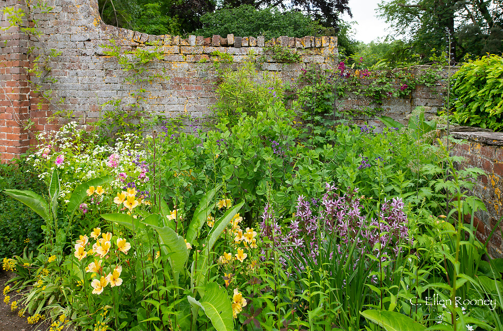 Alstromeria and Dictamnus albus in a border next to an old brick wall at Stockton Bury Gardens, Kimbolton, Leominster, Herefordshire, UK