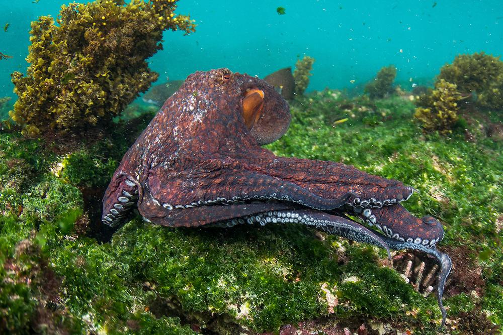 Common octopus (Octopus vulgaris)<br /> Floreana Island<br /> GALAPAGOS<br /> Ecuador, South America