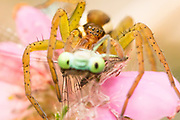 Raft spider (Dolomedes fimbriatus) eating damselfly. Dorset, UK.