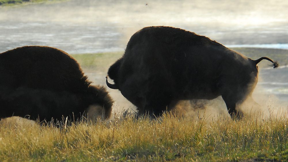 Injury is inflicted with one swing of the bison's massive head,sending the challenger into a hasty retreat.