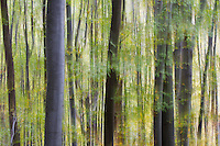 Common beech (Fagus sylvatica) forest, abstract, in the Southern Carpathians close to Baile Herculane, Caras Severin, Romania.