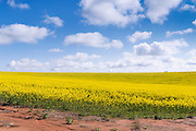 Flowering canola crop in farm paddock under blue sky and cumulus clouds at Junee, New South Wales, Australia.