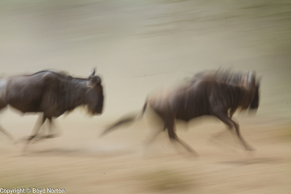 Running wildebeests, migration,  Serengeti National Park, Tanzania.