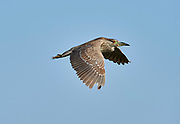 Black-crowned night heron (Nycticorax nycticorax) flying over Lake Chapala, Jalisco, Mexico