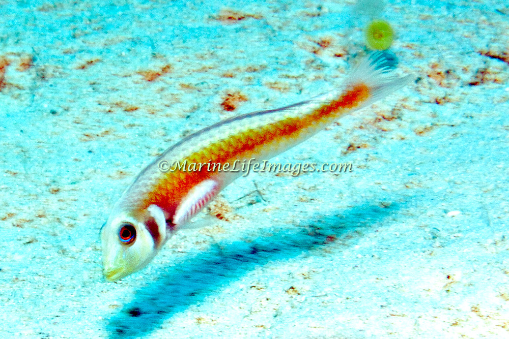 Rosy Razorfish inhabit sandy areas often adjacent sea grass beds in Tropical West Atlantic; picture taken San Salvador, Bahamas.
