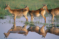 Three Deer by pond