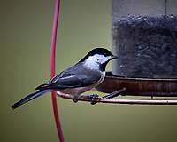Black-capped Chickadee at the Bird Feeder. Image taken with a Nikon D5 camera and 600 mm f/4 VR telephoto lens.