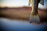 DETAIL OF A LARGEMOUTH BASS TAIL